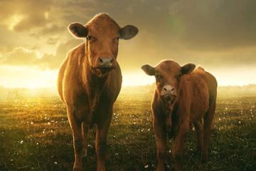 Kuh und Kalb im Sonnenuntergang