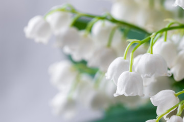 Wall Murals Lily of the valley Lily of the valley, Convallaria majalis, white flowers for wedding