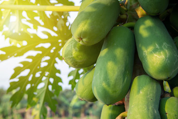 Clos up many fresh results of papaya ( Carica papaya ) Papayas, Papaw, Pawpaw on the tree in organic aggregate agriculture garden. Tropical tree with fruits are raw materials in Thai food menus.