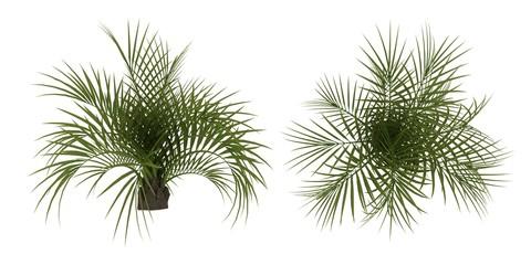 Palmie Tree Botanic