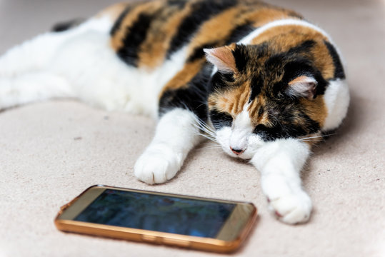 Closeup of calico cat face sleeping looking at watching smartphone mobile cell phone video screen of birds and animals on carpet floor inside house