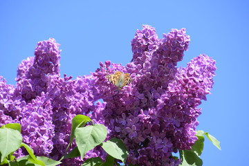 Foto op Aluminium Lilac Butterfly Vanessa cardui on lilac flowers. Pollination blooming lilacs.