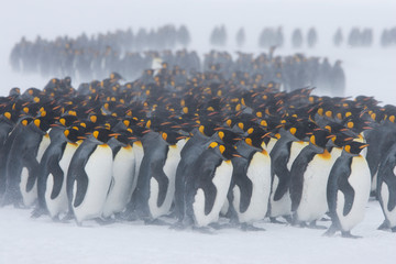 King penguins stand with their backs to blowing snow on the snowy fields of the sub-antarctic island of South Georgia. They are grouping together for warmth
