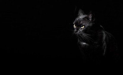 Portrait of a black cat in studio on black wall background with copy space