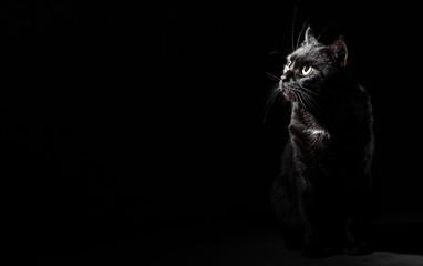 Fototapeta Portrait of a black cat in studio on black wall background with copy space obraz