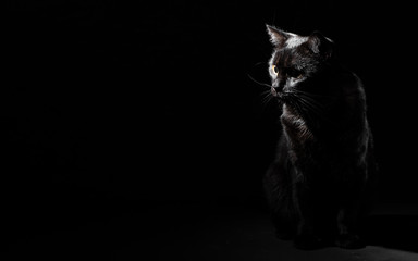 Portrait of a black cat in studio on black wall background with copy space Fototapete