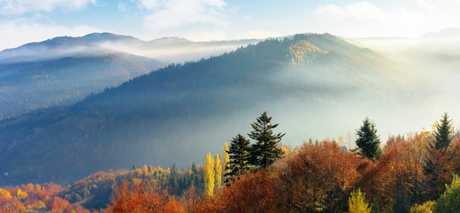 panoram of foggy autumn scenery in mountains at sunrise. red and yellow foliage on the trees. hazy weather in the valley.