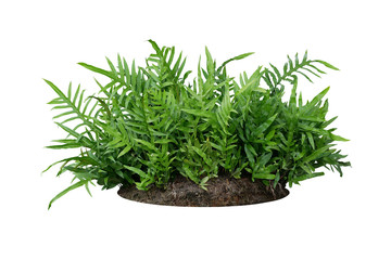 Wall Mural - Green leaves Hawaiian Laua'e fern or Wart fern tropical foliage plant bush on ground with dead plants humus isolated on white background, clipping path included.
