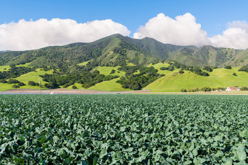 A field of broccoli growing in the Salinas Valley with the Santa Lucia Mountains in the background