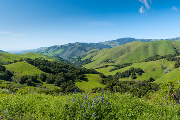 A beautiful spring/summer scene with blue lupine wildflowers in the foreground of a vast landscape of lush green fields, hills, and mountains near Cambria, California, USA