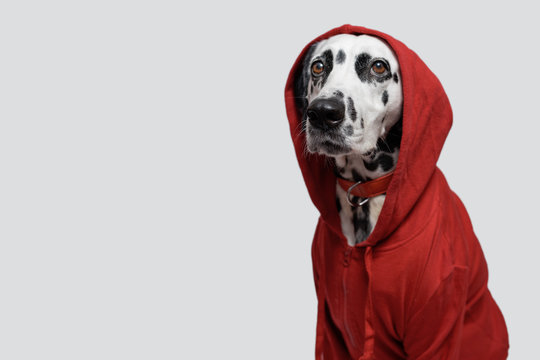 Dalmatian dog in red sweatshirt sits on white background. Dog head is covered by hood. Pet photography. Determined strongly. Copy space