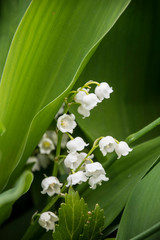 Poster de jardin Muguet de mai Beautiful white bells, whole flowers of lily of the valley, green large leaves of lily of the valley bushes.