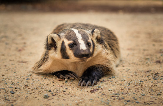American Badger laying in the dirt