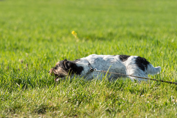 Jack russell terrier dog is waiting for a earth hook in the meadow and eating grass