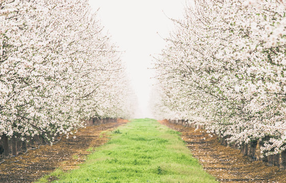 Symmetrical row of blooming almond trees in California, vanishing into a white hazy point