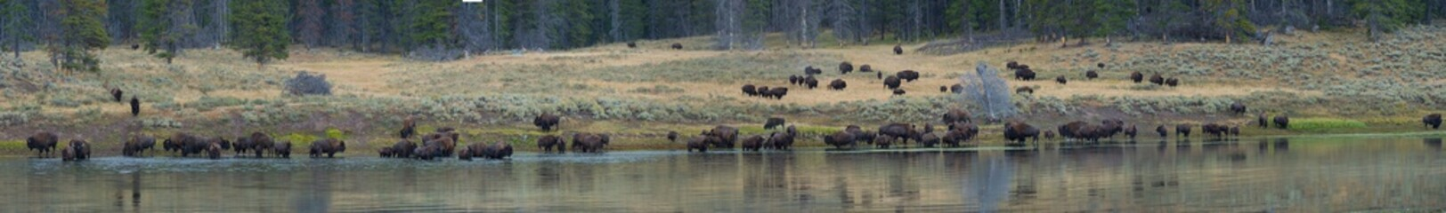 Papiers peints Bison Bison Panorama - River Crossing