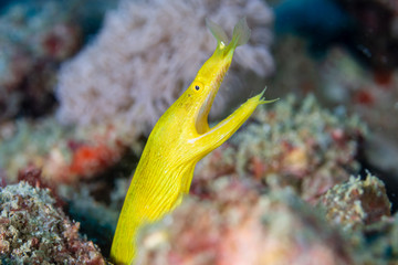 Wall Mural - Colorful Yellow Ribbon Eel on a tropical coral reef