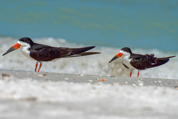 Two black skimmers on the beach