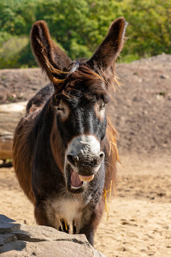 Portrait of yawning oscitant domestic Catalan donkey on the farm