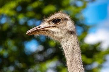 Close-up of head details South African female common ostrich (Struthio camelus)