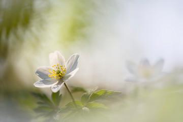 Wild or wood anemone - Anemone Nemorosa