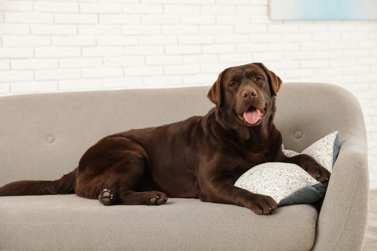 Chocolate labrador retriever on cozy sofa indoors
