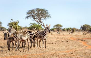 African zebras in Kenya