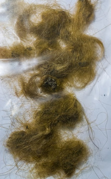 woolly mammoth hair locks, remains of a extinct animal from the epoch era