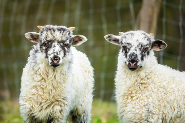 Fototapete - two cute lambs in the detail