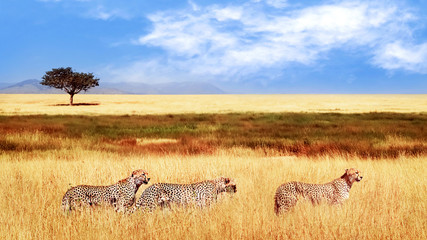 Wall Mural - Group of cheetahs in the African savannah. Africa, Tanzania, Serengeti National Park.  Wild life of Africa.