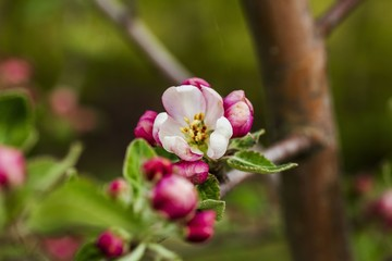 Fototapeta Gorgeous beutiful blooming apple tree brunch isolated. Gorgeous backgrounds.