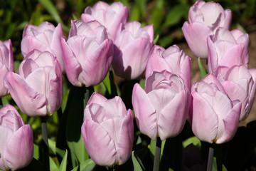 Beautiful pink pastel color tulips blooming, closeup