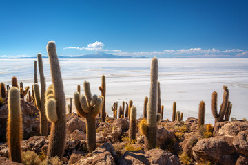 Photo sur Aluminium Cactus Cactuses in Incahuasi island, Salar de Uyuni salt flat, Potosi, Bolivia