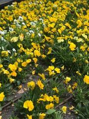 California golden violet, Viola pedunculata
