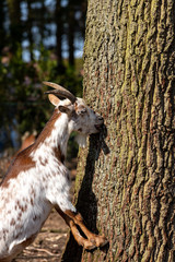 Portrait of white-brown domestic female African pygmy goats