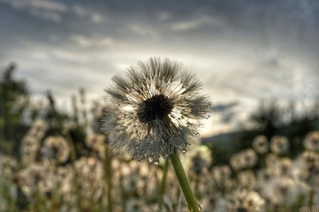 Photo sur Aluminium Pissenlit Dandelions in a meadow in the mountains. Behind the mountain the sun sets.