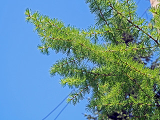 Wall Mural - larch branch with fresh needles-leaves