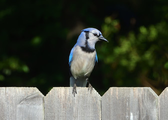 Wall Mural - Blue Jay on a Fence