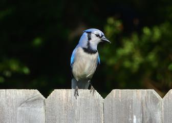 Fototapete - Blue Jay on a Fence