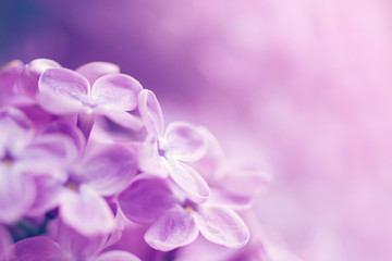 Gentle pink flower background with flowers of a lilac, soft focus