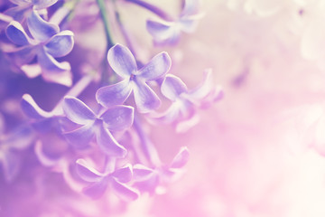 Gentle purple flower background with flowers of a lilac, soft focus
