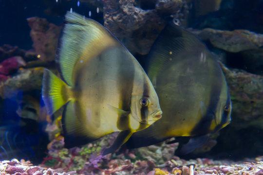 atlantic spadefish in ocean