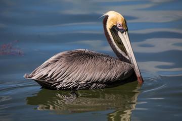 Macro of an American brown Pelican in Islamorada