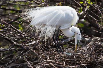 Great Egret with matting plumage, wakodahatchee
