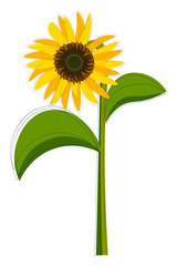Clipart of a sunflower set isolated on white-colored background viewed from the front, vector or color illustration.
