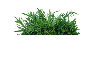 Wall Mural - Green leaves Hawaiian Laua'e fern or Wart fern tropical foliage plant bush nature backdrop isolated on white background, clipping path included.