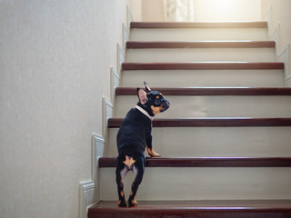 Puppy french bulldog try to learn to going up staircase at home.