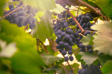 Fototapete - Blue grapes on the vine, wine variety in the vineyard, summer natural background, selective focus