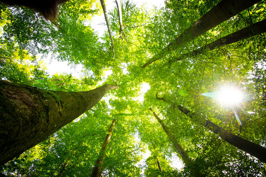 Impressive trees in the forest. Fresh green, spring time. Bottom view.