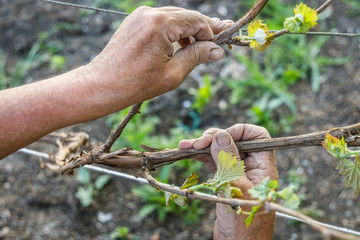 Wrinkled hands of farmer hand hold a grape branch
